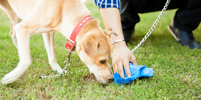Dog sniffing dog poop as owner cleans it up