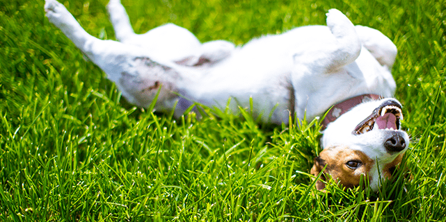 Dog rolling on back in grass