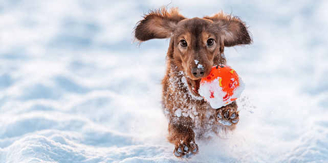 Dog running in snow with toy in mouth