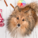 Dog looking at camera with toys around