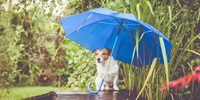 Dog holding an umbrella