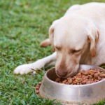 Brown labrador eating on green grass