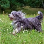Bearded Border Collie Most Playful Dog Breed