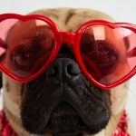 Red Eyes in Dogs Blog Article with Pug wearing red heart shaped sunglasses.