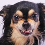 Why do dogs bite article with chiwawa dog showing us her teeth.